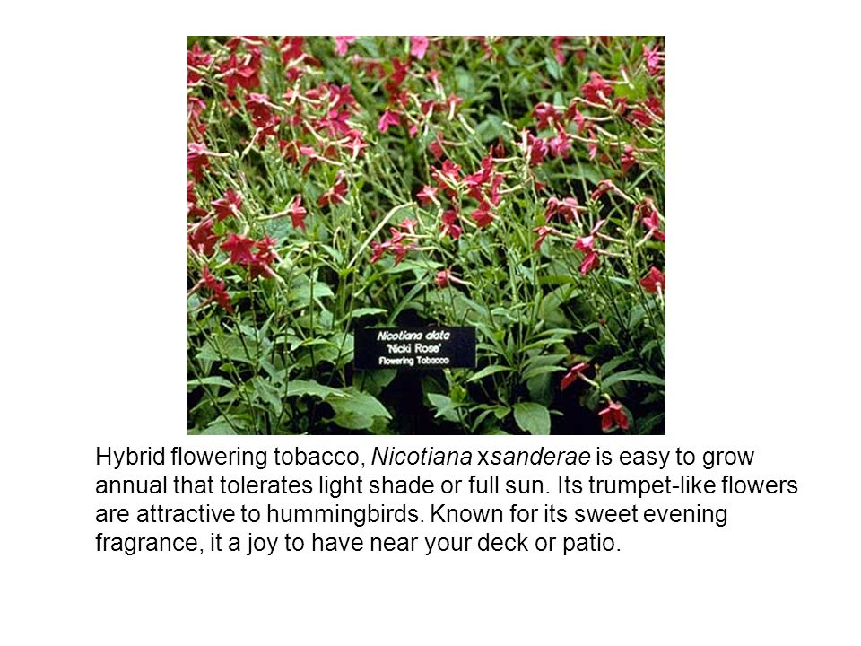 Hybrid flowering tobacco, Nicotiana xsanderae is easy to grow annual that tolerates light shade or full sun.