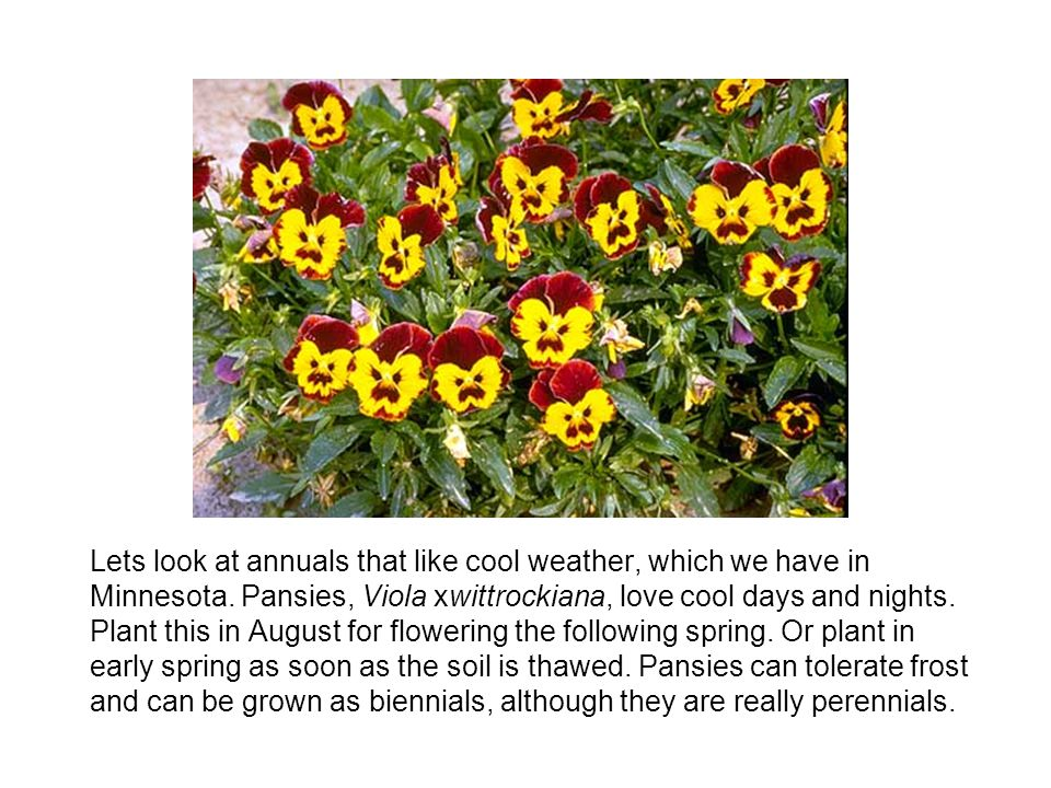 Lets look at annuals that like cool weather, which we have in Minnesota.