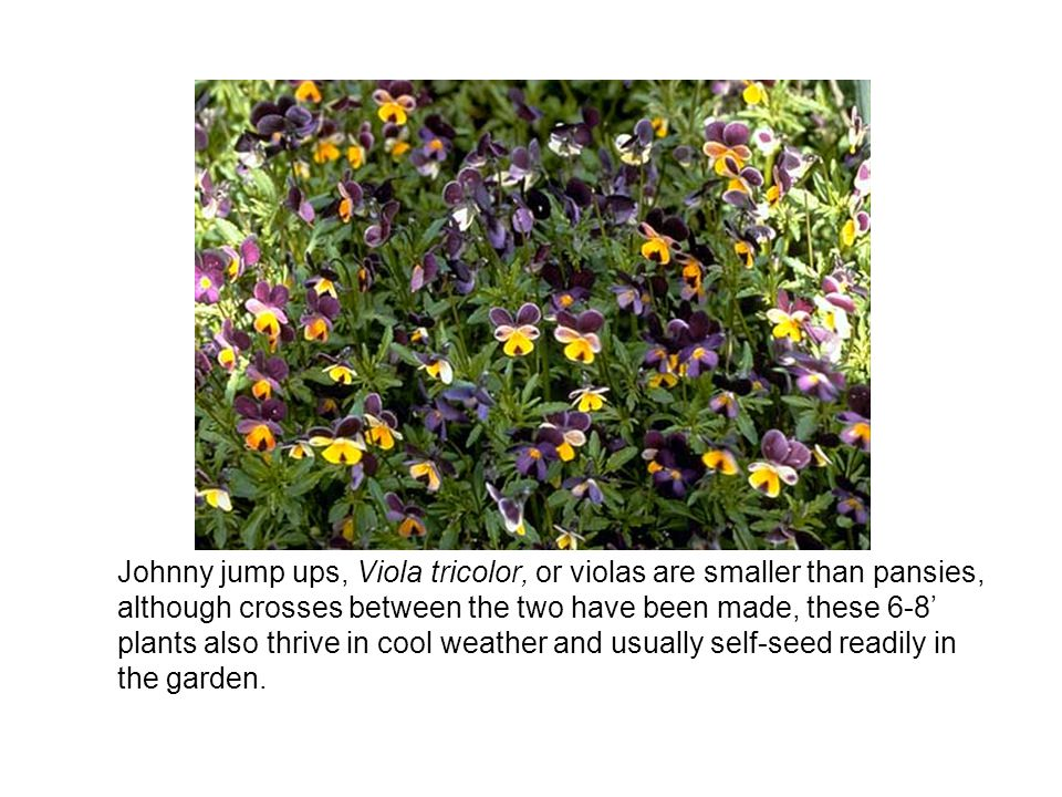 Johnny jump ups, Viola tricolor, or violas are smaller than pansies, although crosses between the two have been made, these 6-8' plants also thrive in cool weather and usually self-seed readily in the garden.