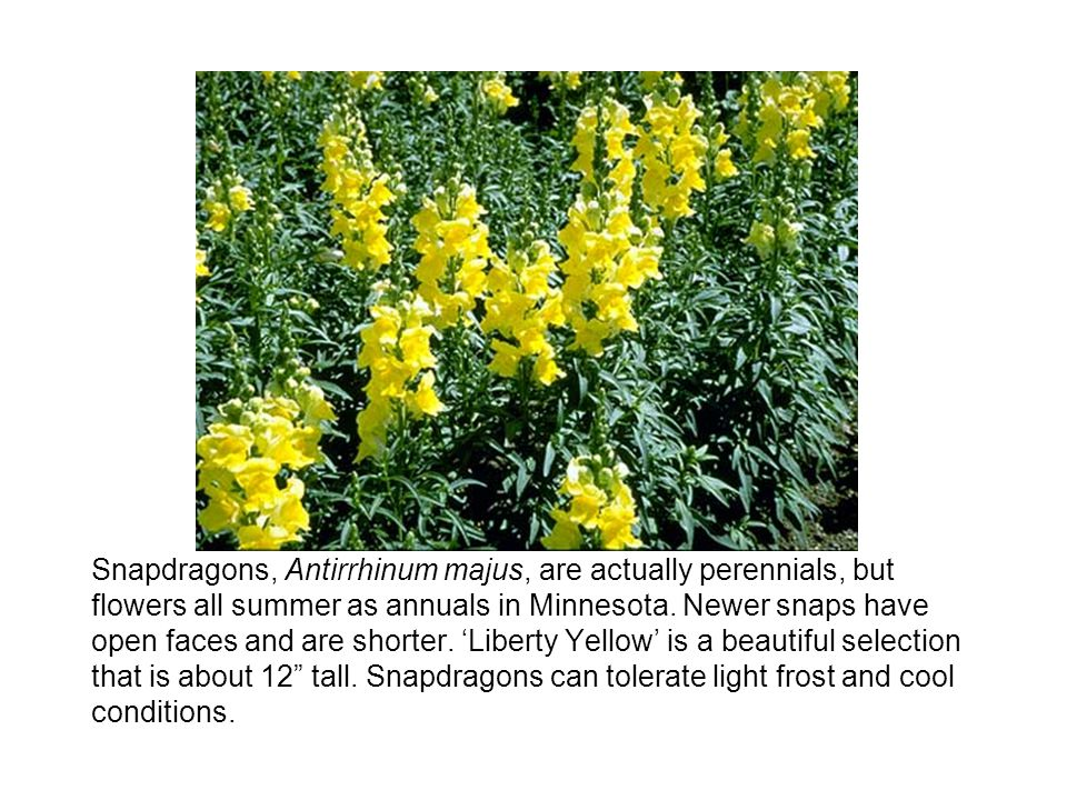 Snapdragons, Antirrhinum majus, are actually perennials, but flowers all summer as annuals in Minnesota.