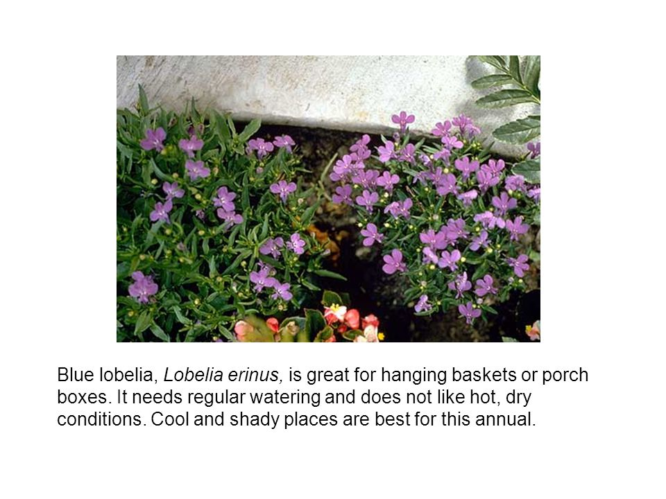 Blue lobelia, Lobelia erinus, is great for hanging baskets or porch boxes.
