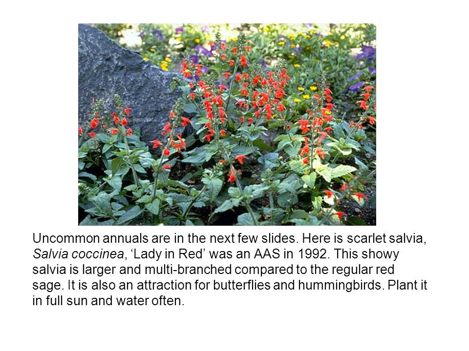 Uncommon annuals are in the next few slides