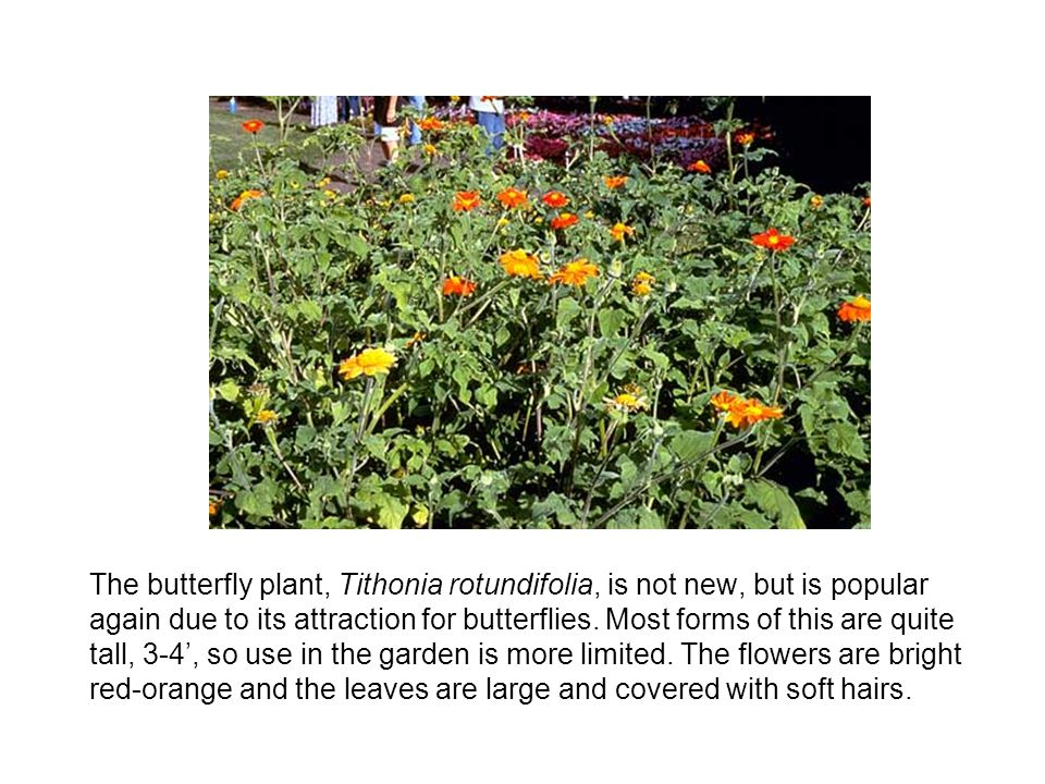The butterfly plant, Tithonia rotundifolia, is not new, but is popular again due to its attraction for butterflies.