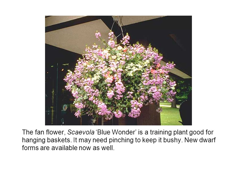 The fan flower, Scaevola 'Blue Wonder' is a training plant good for hanging baskets.