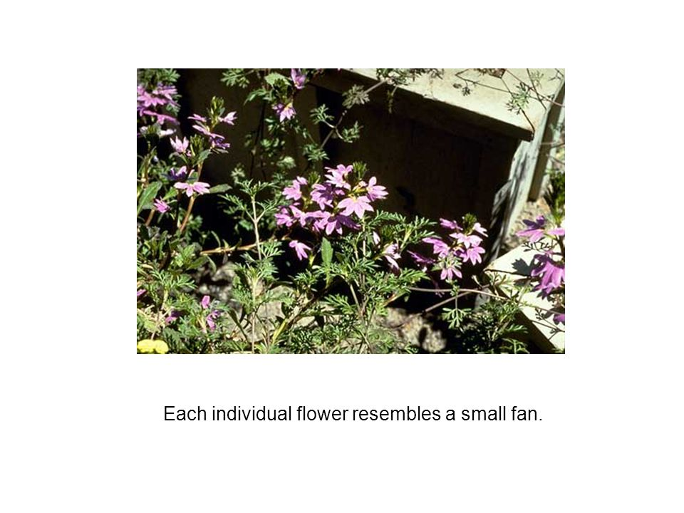 Each individual flower resembles a small fan.