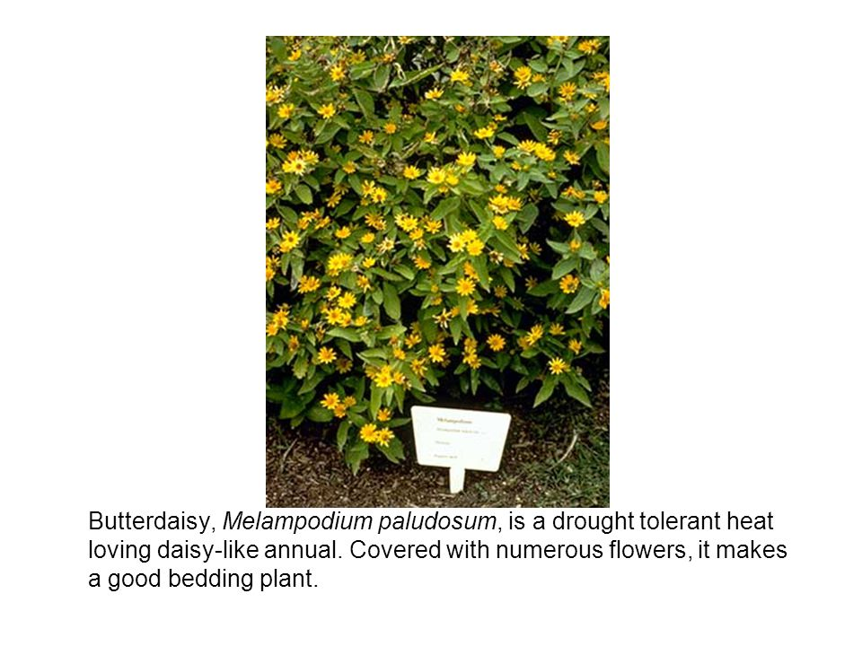 Butterdaisy, Melampodium paludosum, is a drought tolerant heat loving daisy-like annual.