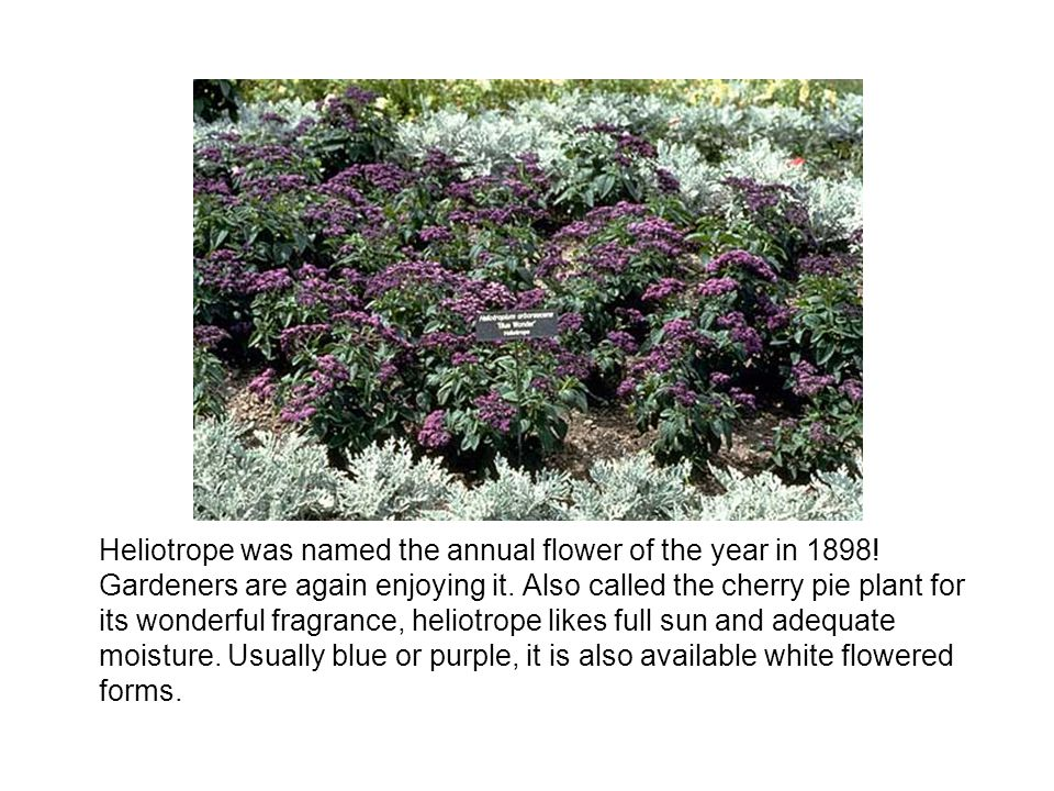 Heliotrope was named the annual flower of the year in 1898