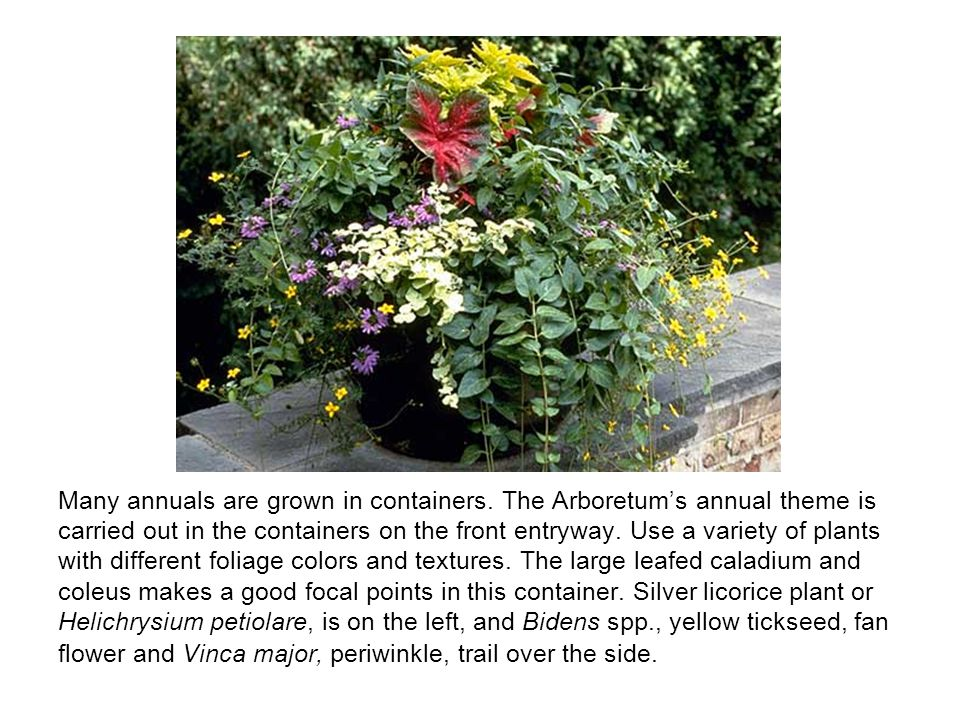 Many annuals are grown in containers