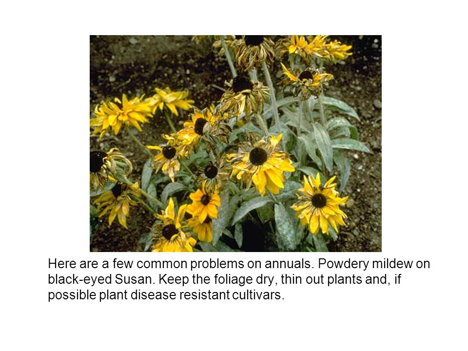 Here are a few common problems on annuals