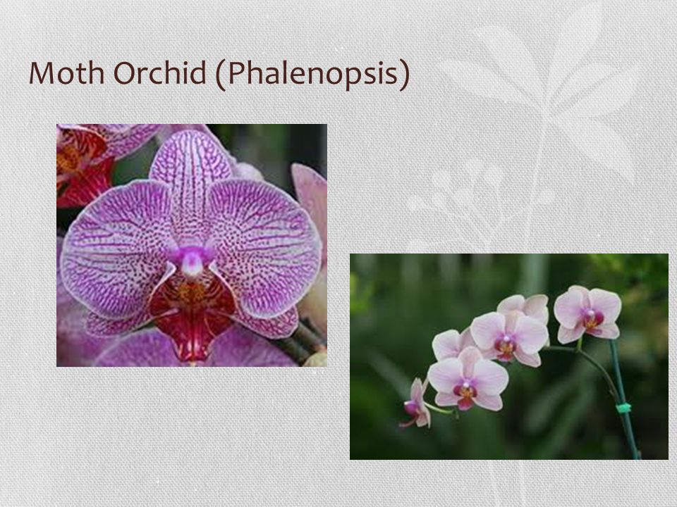 Moth Orchid (Phalenopsis)