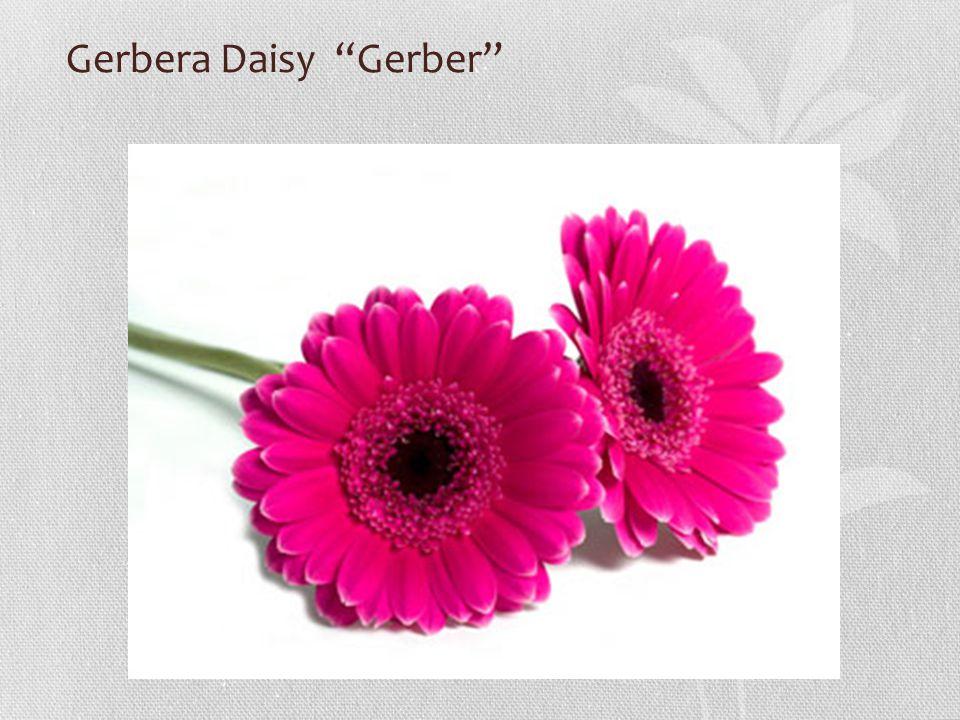 Gerbera Daisy Gerber