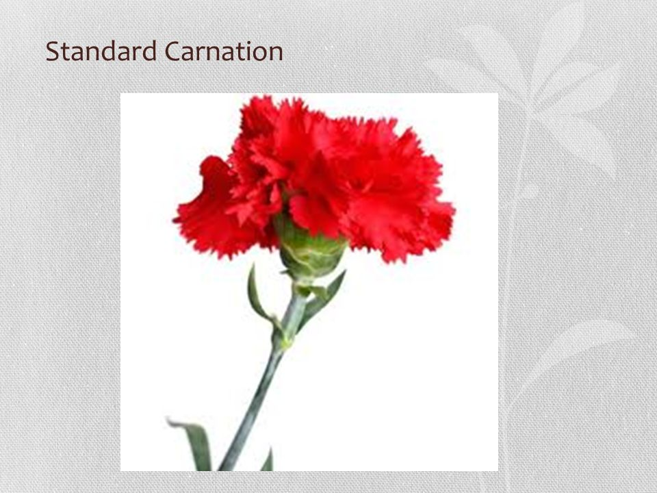 Standard Carnation
