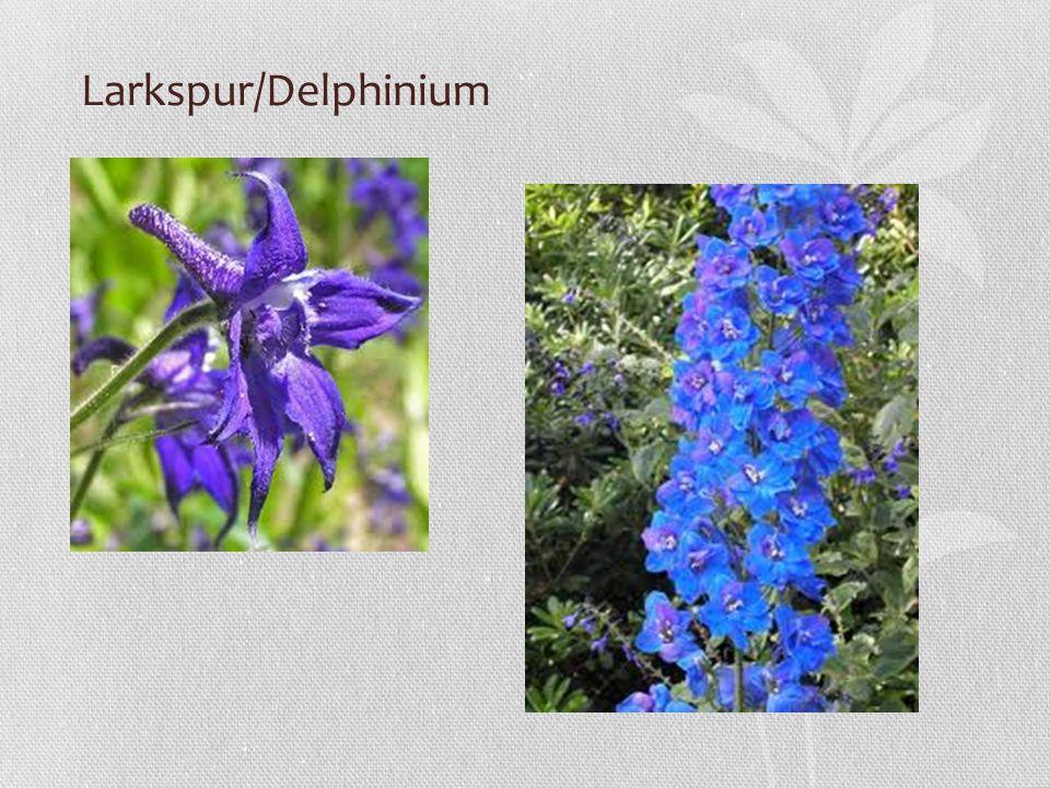 Larkspur/Delphinium