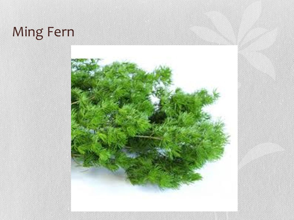 Ming Fern