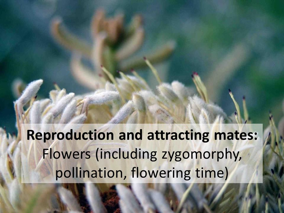 Reproduction and attracting mates: Flowers (including zygomorphy, pollination, flowering time)
