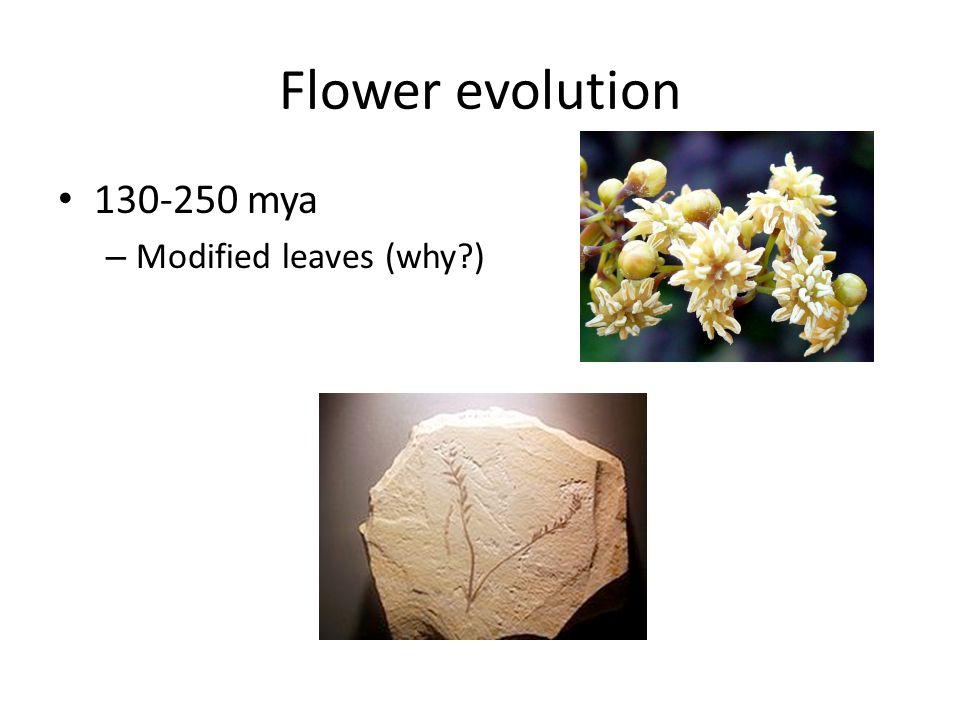 Flower evolution 130-250 mya Modified leaves (why )