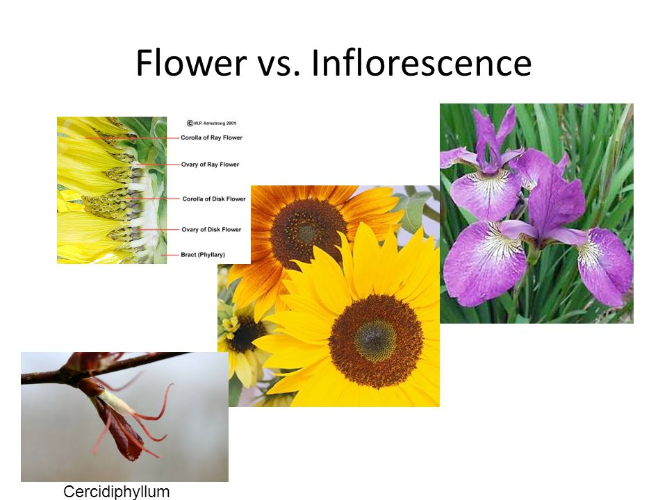 Flower vs. Inflorescence