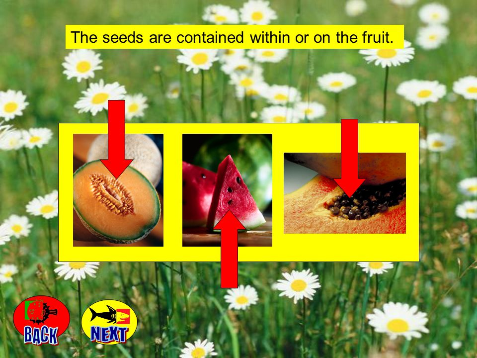 The seeds are contained within or on the fruit.