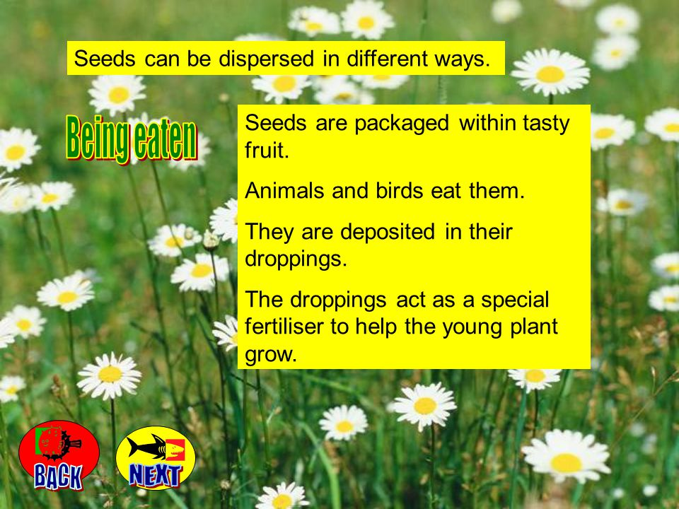 Being eaten BACK NEXT Seeds can be dispersed in different ways.
