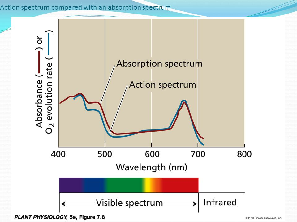 Action spectrum compared with an absorption spectrum