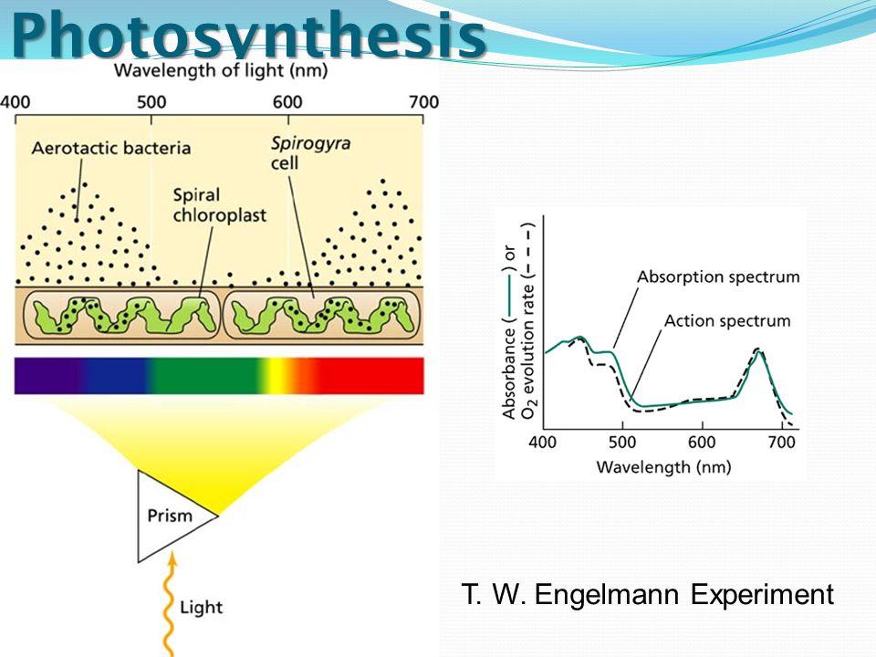 Photosynthesis T. W. Engelmann Experiment