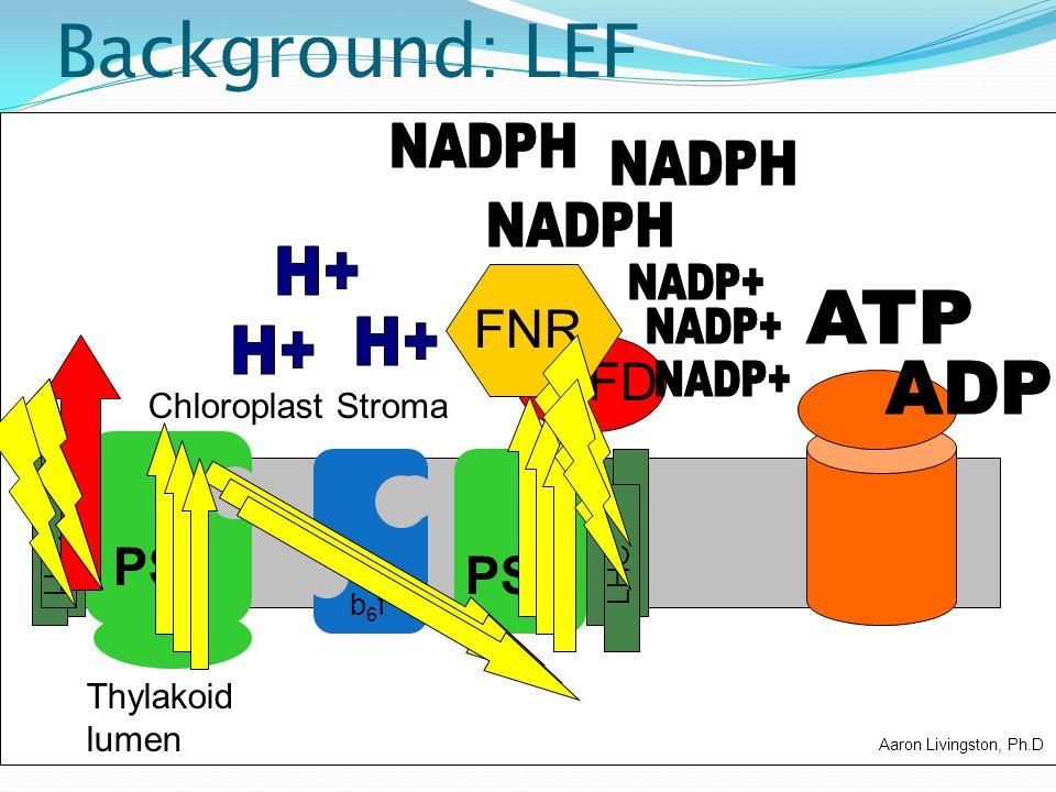 Background: LEF NADPH NADPH NADPH H+ FNR NADP+ ATP NADP+ H+ H+ FD