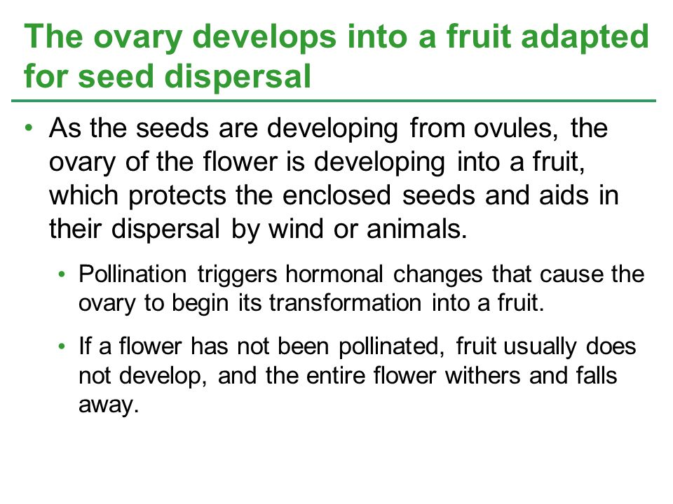 The ovary develops into a fruit adapted for seed dispersal