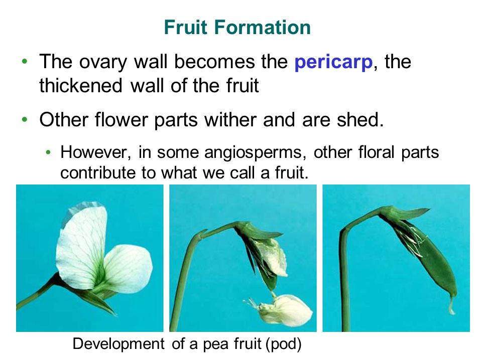 The ovary wall becomes the pericarp, the thickened wall of the fruit