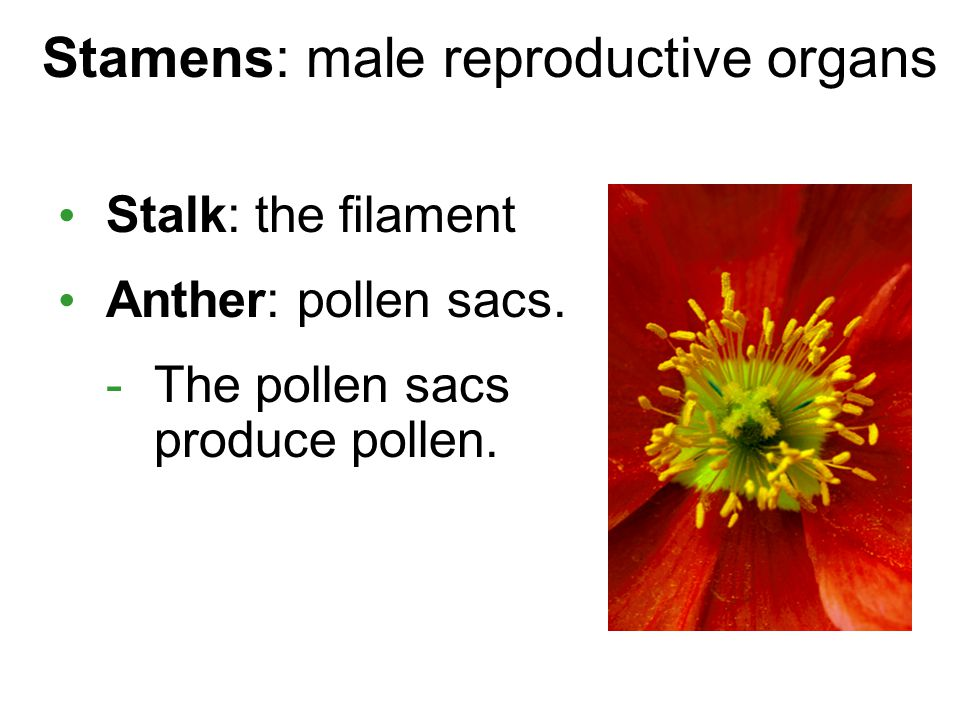 Stamens: male reproductive organs