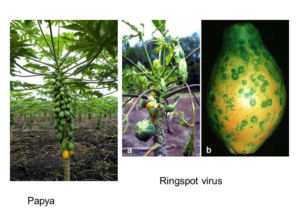 The Papaya Ring Spot Virus (PRSV) was identified on Oahu in the 1940s and became a significant threat to the industry in the 1950s. The industry was moved to the then virus-free island of Hawaii where it thrived in the Puna region, producing 95% of Hawaiian papaya in the state. However, it was clear that the virus would eventually infest the island of Hawaii. Commercial production of papaya on the Big Island dropped 50% from 53 million pounds in 1992—when the ringspot virus hit—to 25 million pounds in 1999.