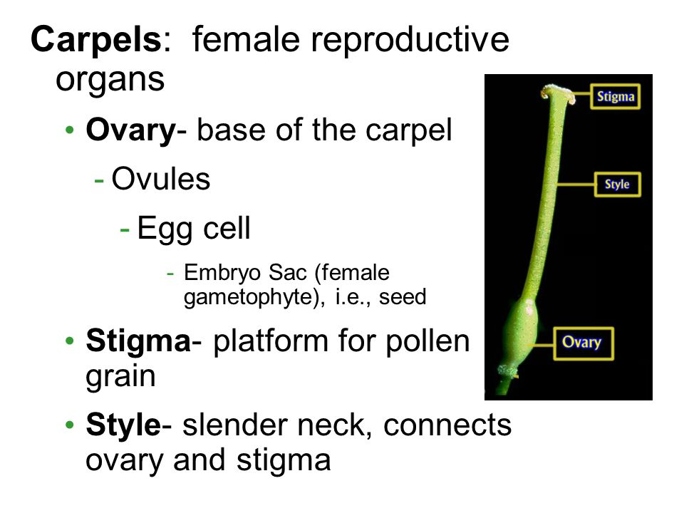 Carpels: female reproductive organs