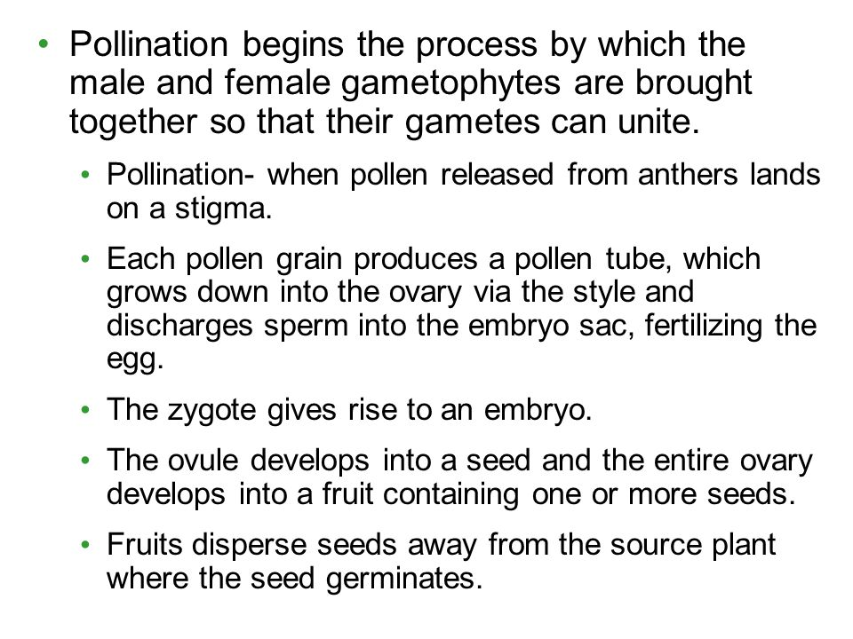 Pollination begins the process by which the male and female gametophytes are brought together so that their gametes can unite.