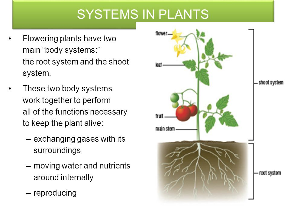 SYSTEMS IN PLANTS Flowering plants have two main body systems: the root system and the shoot system.