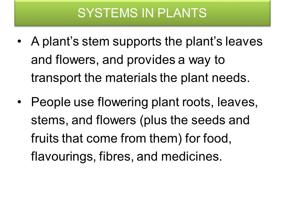 SYSTEMS IN PLANTS A plant's stem supports the plant's leaves and flowers, and provides a way to transport the materials the plant needs.