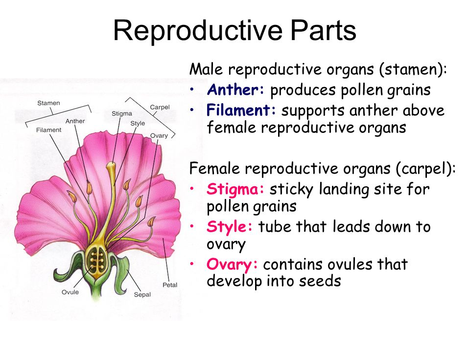 Reproduction in flowering plants ppt video online download 5 reproductive parts male reproductive organs ccuart Image collections