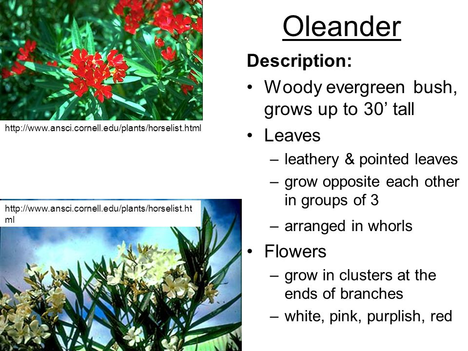 Oleander Description: Woody evergreen bush, grows up to 30' tall