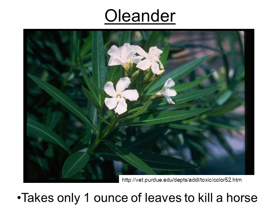 Oleander Takes only 1 ounce of leaves to kill a horse