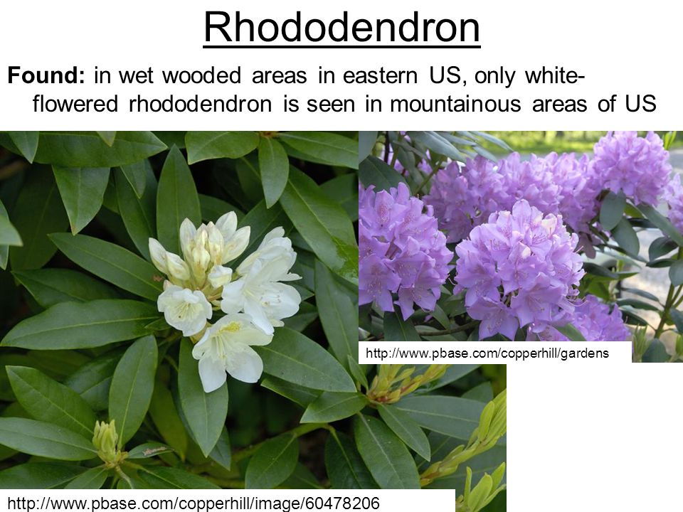 Rhododendron Found: in wet wooded areas in eastern US, only white-flowered rhododendron is seen in mountainous areas of US.