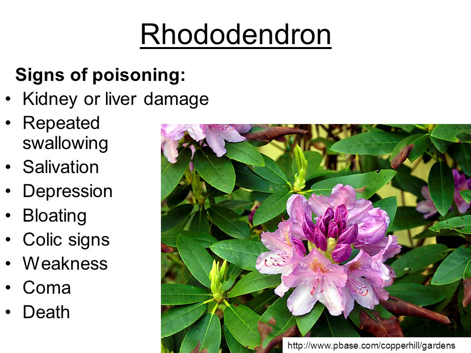 Rhododendron Signs of poisoning: Kidney or liver damage