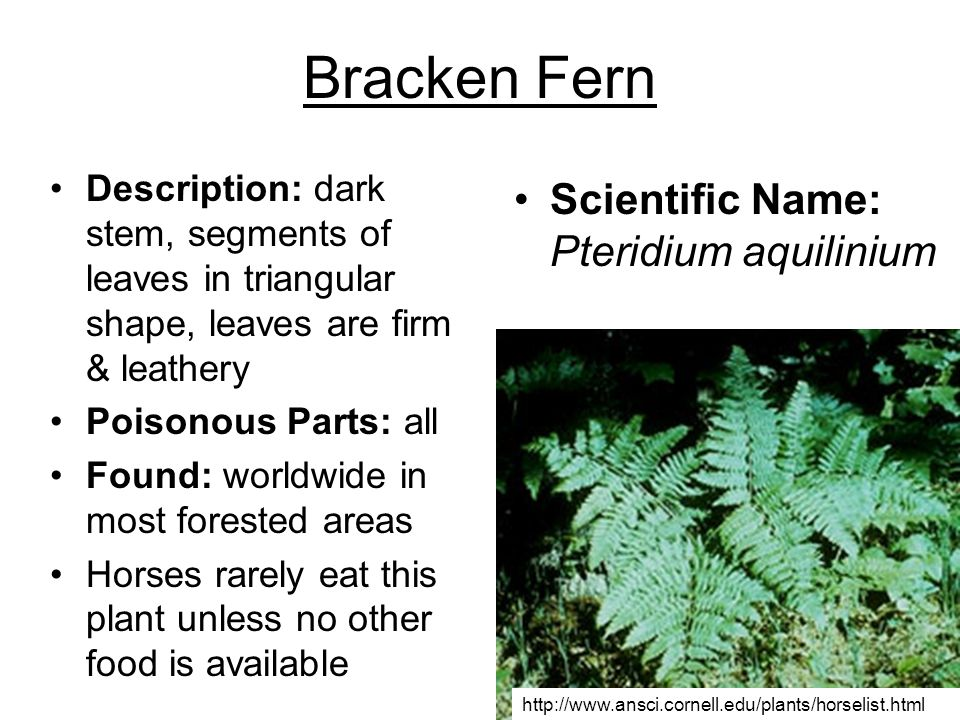 Bracken Fern Scientific Name: Pteridium aquilinium