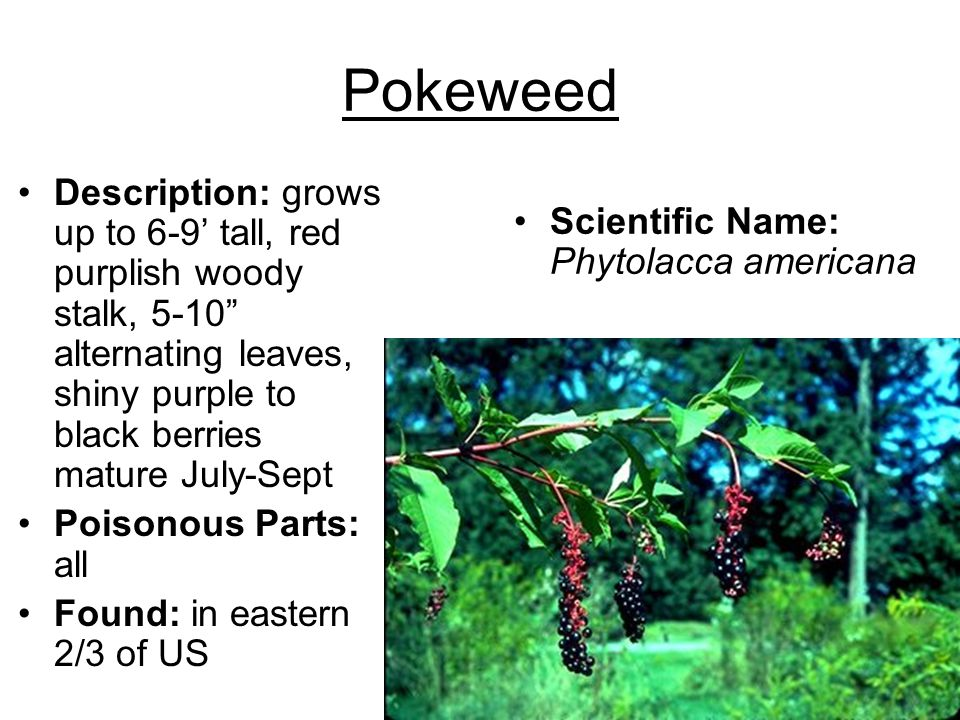 Pokeweed Description: grows up to 6-9' tall, red purplish woody stalk, 5-10 alternating leaves, shiny purple to black berries mature July-Sept.