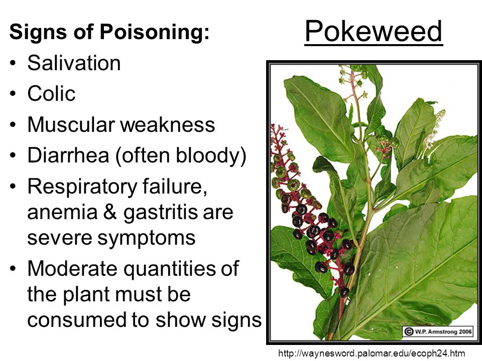 Pokeweed Signs of Poisoning: Salivation Colic Muscular weakness