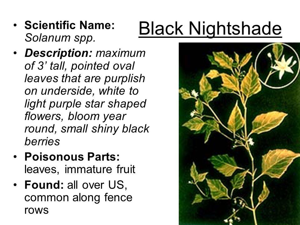 Black Nightshade Scientific Name: Solanum spp.