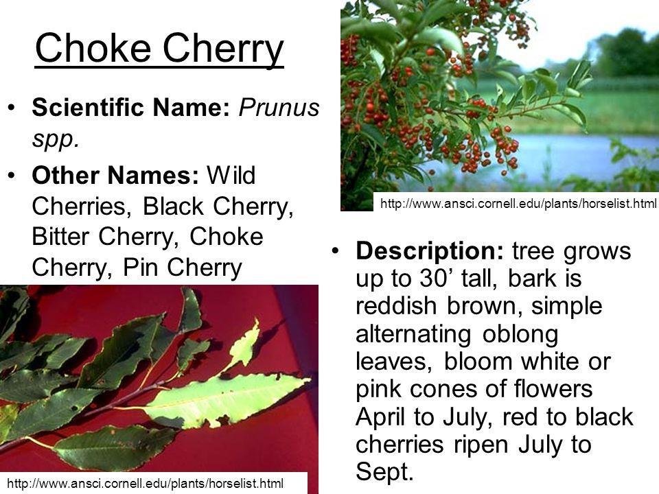 Choke Cherry Scientific Name: Prunus spp.