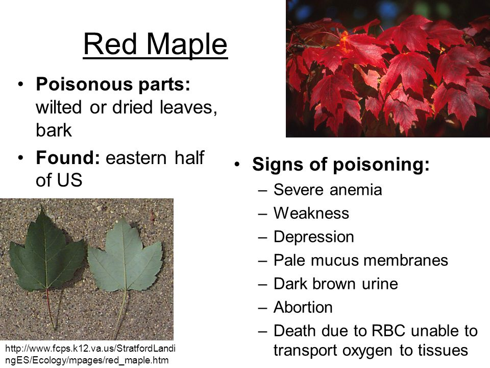 Red Maple Poisonous parts: wilted or dried leaves, bark