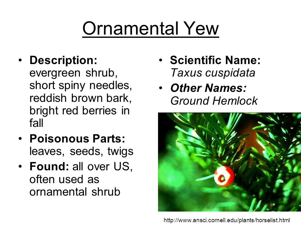 Ornamental Yew Description: evergreen shrub, short spiny needles, reddish brown bark, bright red berries in fall.
