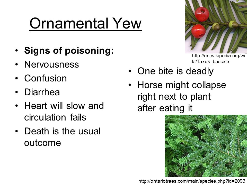 Ornamental Yew Signs of poisoning: Nervousness Confusion Diarrhea