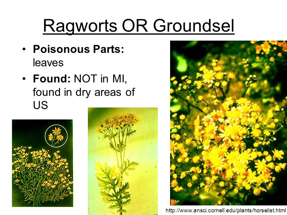 Ragworts OR Groundsel Poisonous Parts: leaves