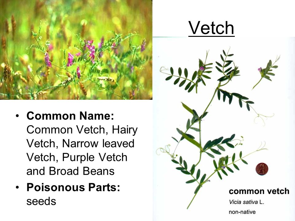 Vetch Common Name: Common Vetch, Hairy Vetch, Narrow leaved Vetch, Purple Vetch and Broad Beans.