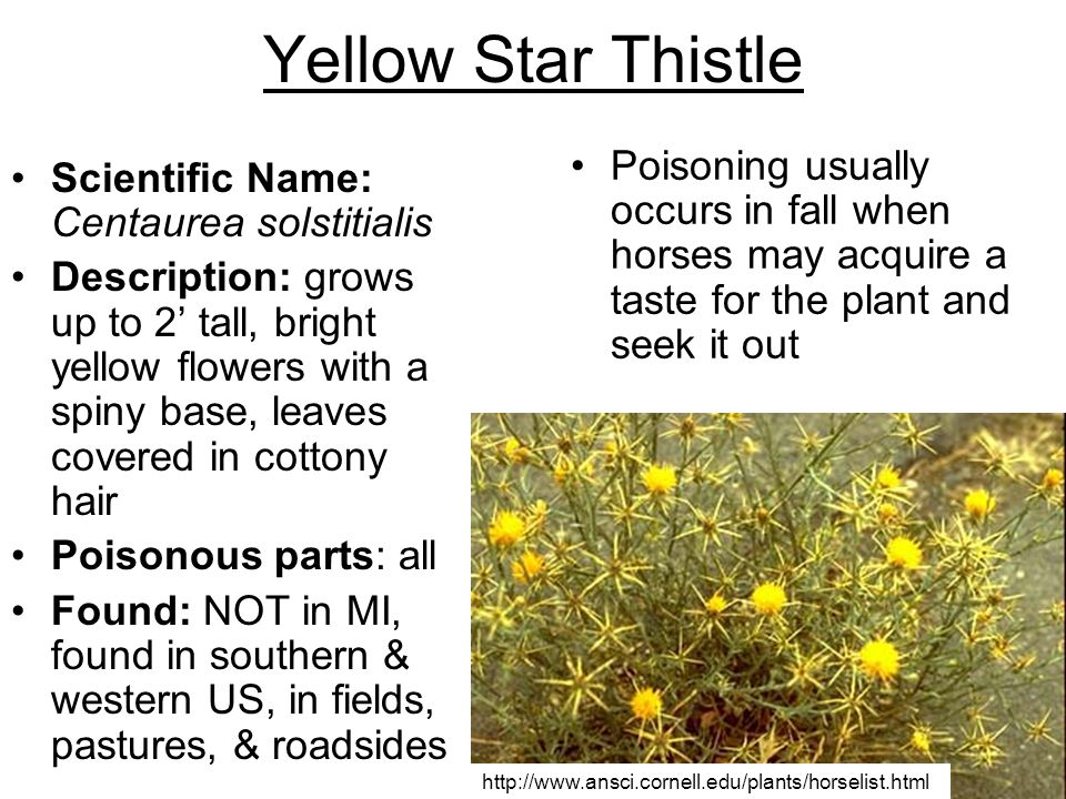 Yellow Star Thistle Poisoning usually occurs in fall when horses may acquire a taste for the plant and seek it out.